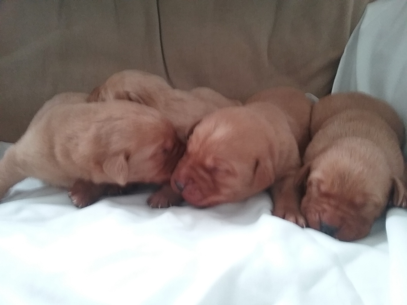 Fox Red Labrador puppies Berkshire