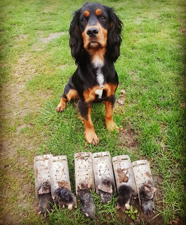 Berkshire mole catcher