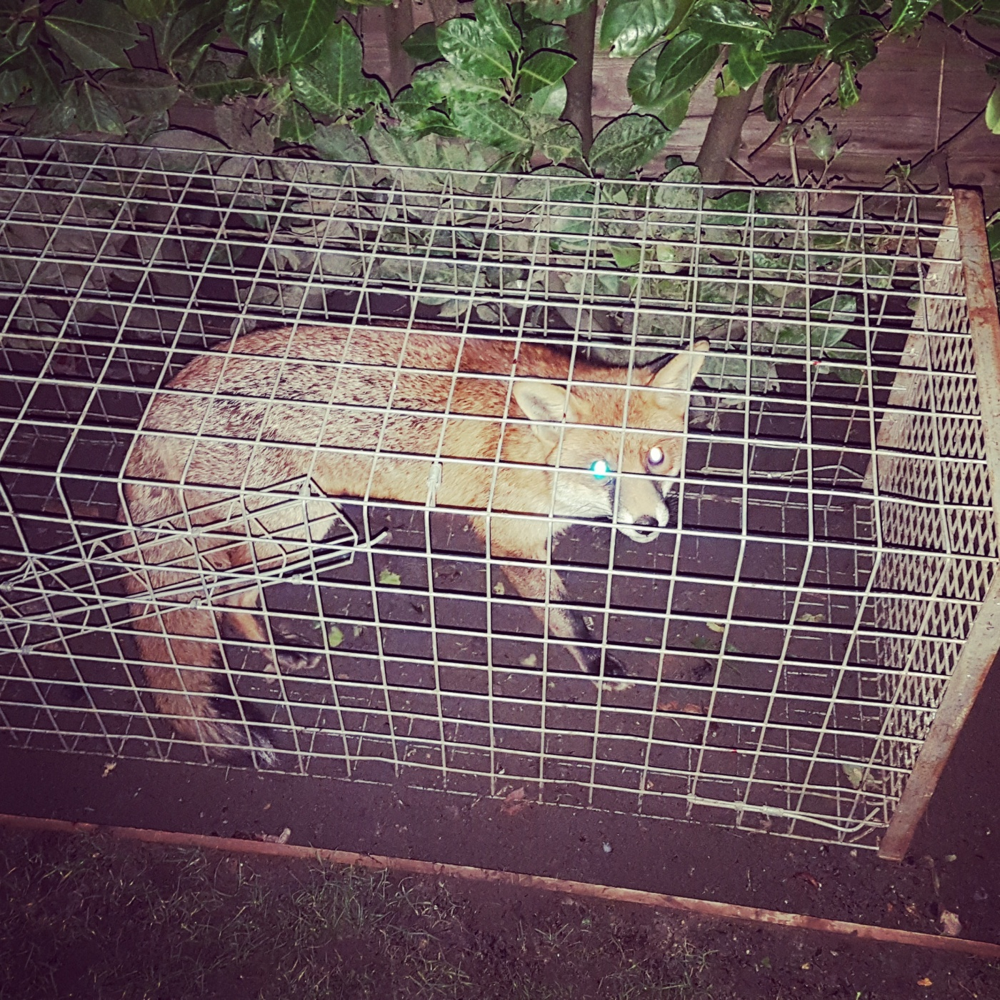 Fox catcher Berkshire