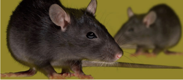 Rat Control Berkshire